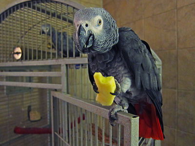 Parrot Eating an Apple