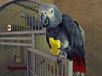 Parrot Eating Apple