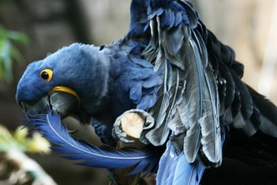 Parrot Preening