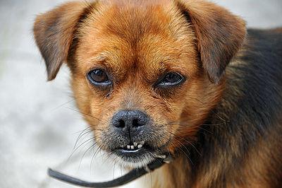 Small Dog Baring Teeth