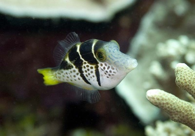 Valentini Pufferfish
