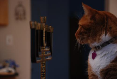 cat looking at a chanuka menorah