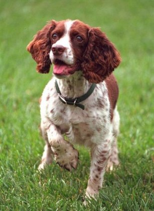 English Springer Spaniel - labradinger