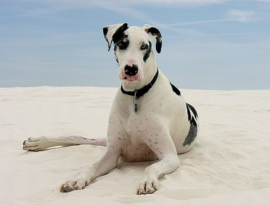 ‎Great Dane