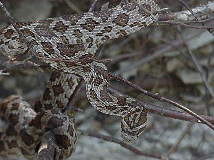 Great Plains Rat Snake