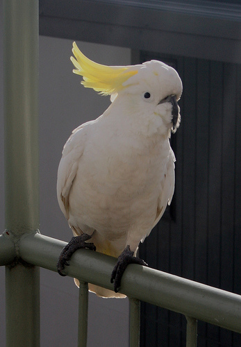 Greater Sulfur-Crested Cockatoo