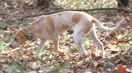 Redtick Coonhound