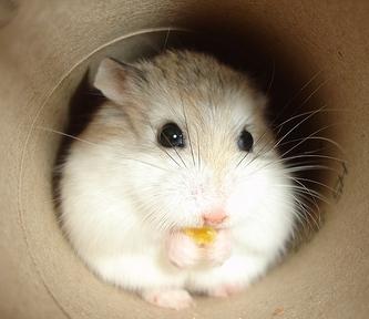 Roborovski Hamster The Pet Wiki