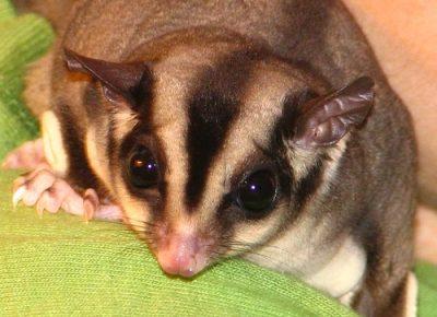 Ferret - The Pet Wiki