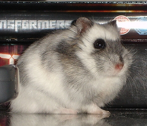 White Russian Hamster