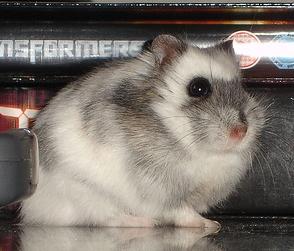 White Russian Hamster